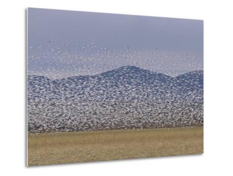 Flock of Snow Geese Take Flight in Bosque Del Apache Wildlife Refuge-Marc Moritsch-Metal Print
