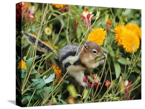 A Golden-Mantled Ground Squirrel Nibbles a Meal Amidst Wildflowers-George F^ Mobley-Stretched Canvas Print