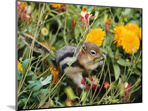 A Golden-Mantled Ground Squirrel Nibbles a Meal Amidst Wildflowers-George F^ Mobley-Mounted Photographic Print