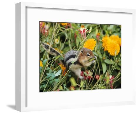 A Golden-Mantled Ground Squirrel Nibbles a Meal Amidst Wildflowers-George F^ Mobley-Framed Art Print