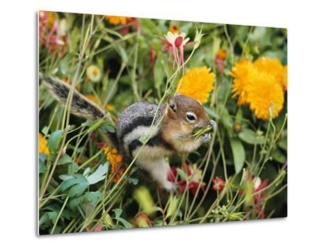 A Golden-Mantled Ground Squirrel Nibbles a Meal Amidst Wildflowers-George F^ Mobley-Metal Print
