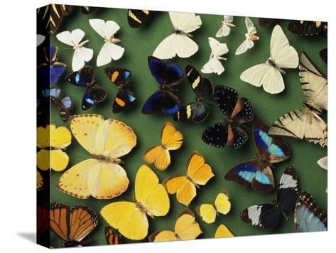 Butterfly Specimens in a Lab of the National Biodiversity Institute-Steve Winter-Stretched Canvas Print