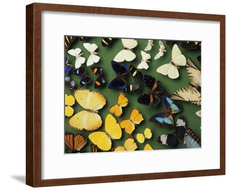 Butterfly Specimens in a Lab of the National Biodiversity Institute-Steve Winter-Framed Art Print