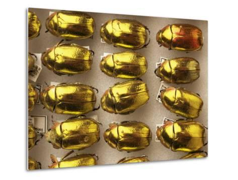 Beetle Specimens in a Lab of the National Biodiversity Institute-Steve Winter-Metal Print