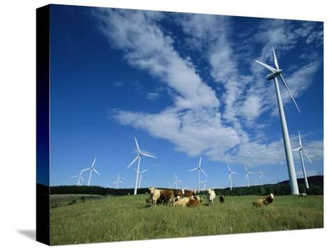 Cattle Graze Around Windmills-Steve Winter-Stretched Canvas Print