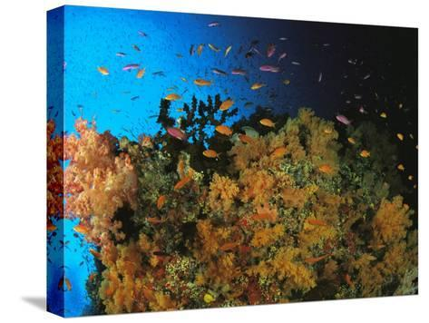 Anthias and Other Fish Swim Near a Reef Wall Covered with Soft Coral-Tim Laman-Stretched Canvas Print