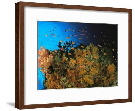 Anthias and Other Fish Swim Near a Reef Wall Covered with Soft Coral-Tim Laman-Framed Art Print