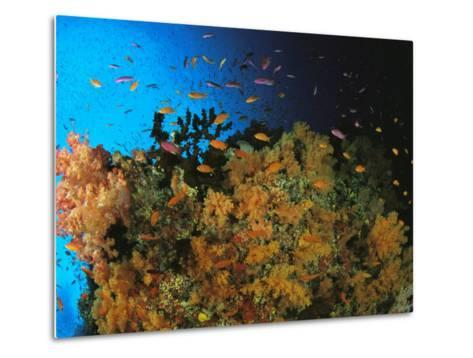 Anthias and Other Fish Swim Near a Reef Wall Covered with Soft Coral-Tim Laman-Metal Print