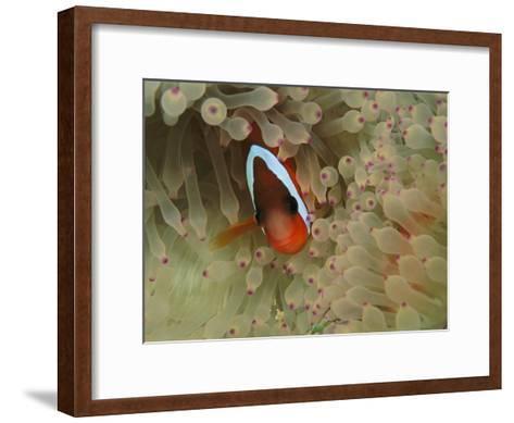An Anemonefish Nestles Among Sea Anemone Tentacles-Tim Laman-Framed Art Print