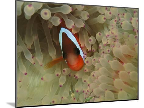 An Anemonefish Nestles Among Sea Anemone Tentacles-Tim Laman-Mounted Photographic Print