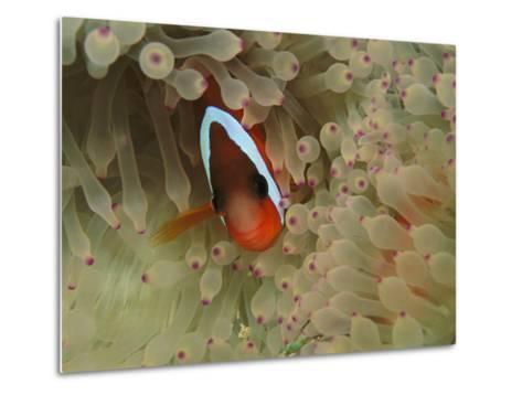 An Anemonefish Nestles Among Sea Anemone Tentacles-Tim Laman-Metal Print