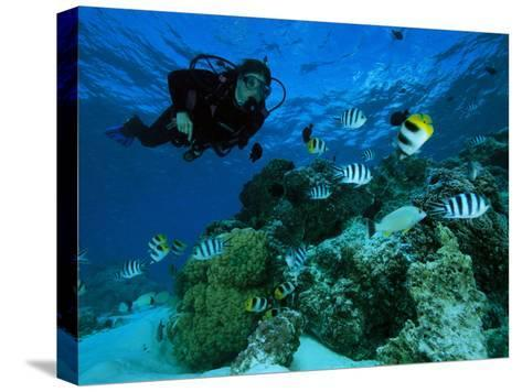 Diver Swimming with Butterfly Fish and Scissor-Tail Sergeants-Tim Laman-Stretched Canvas Print