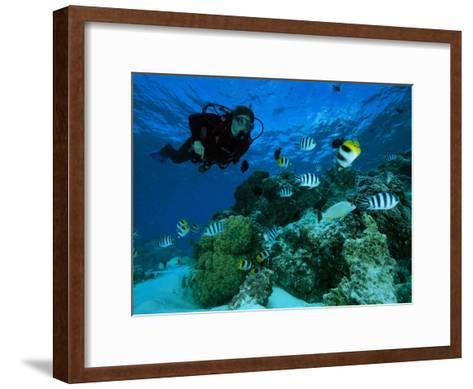 Diver Swimming with Butterfly Fish and Scissor-Tail Sergeants-Tim Laman-Framed Art Print