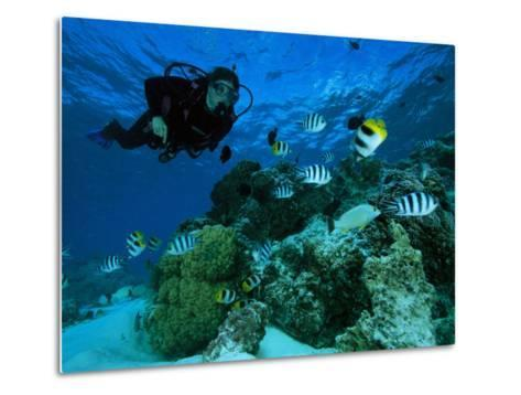 Diver Swimming with Butterfly Fish and Scissor-Tail Sergeants-Tim Laman-Metal Print