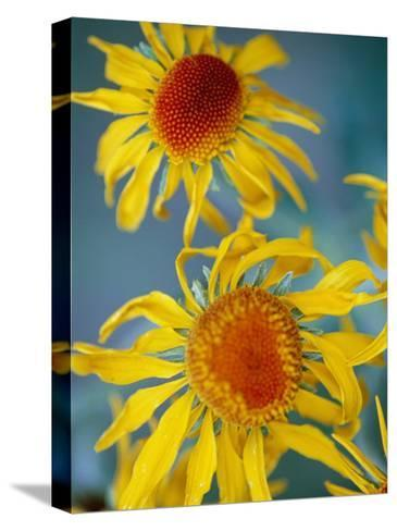 A Close View of Two Daisies-Raul Touzon-Stretched Canvas Print