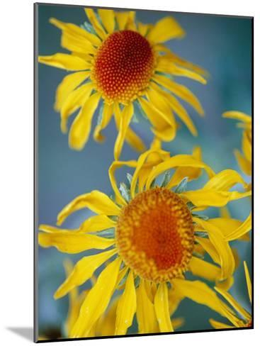 A Close View of Two Daisies-Raul Touzon-Mounted Photographic Print