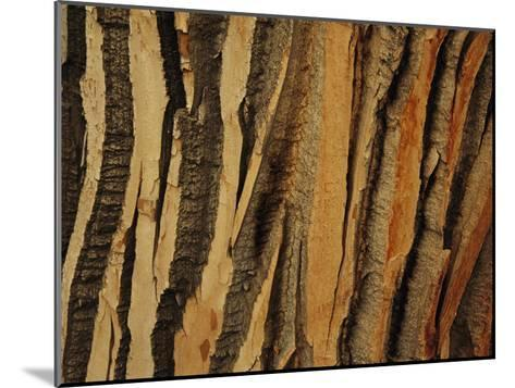 Close View of Bark on an Old Growth Cottonwood Tree-Raymond Gehman-Mounted Photographic Print