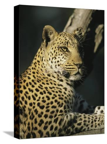 A Leopard, Panthera Pardus, Rests in a Tree-Beverly Joubert-Stretched Canvas Print