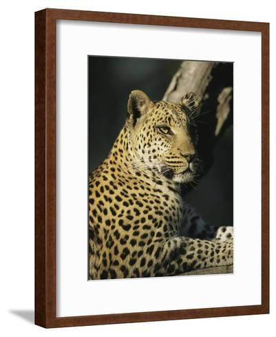 A Leopard, Panthera Pardus, Rests in a Tree-Beverly Joubert-Framed Art Print