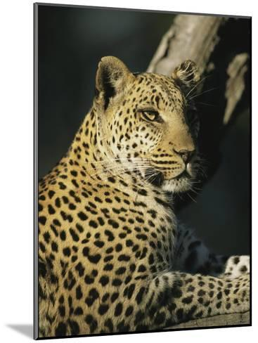 A Leopard, Panthera Pardus, Rests in a Tree-Beverly Joubert-Mounted Photographic Print