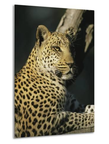A Leopard, Panthera Pardus, Rests in a Tree-Beverly Joubert-Metal Print