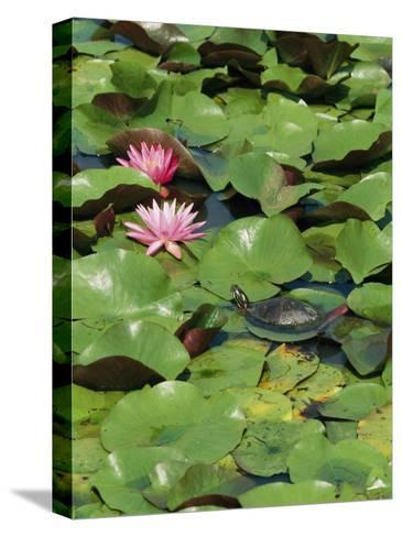 A Painted Turtle Rests on a Water Lily Pad Near Two Pink Flowers-George Grall-Stretched Canvas Print