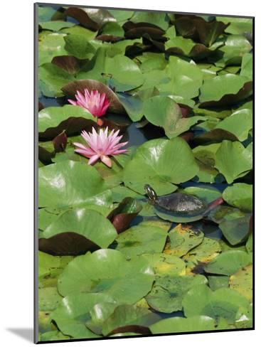 A Painted Turtle Rests on a Water Lily Pad Near Two Pink Flowers-George Grall-Mounted Photographic Print