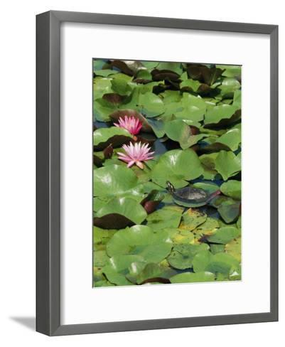 A Painted Turtle Rests on a Water Lily Pad Near Two Pink Flowers-George Grall-Framed Art Print