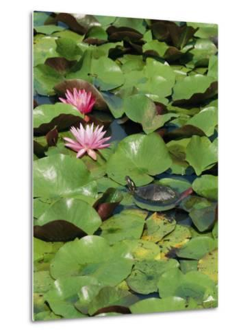 A Painted Turtle Rests on a Water Lily Pad Near Two Pink Flowers-George Grall-Metal Print