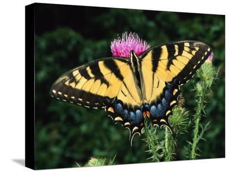 A Tiger Swallowtail Butterfly Feeds on a Thistle Flower-George Grall-Stretched Canvas Print