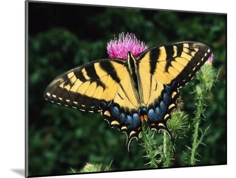 A Tiger Swallowtail Butterfly Feeds on a Thistle Flower-George Grall-Mounted Photographic Print