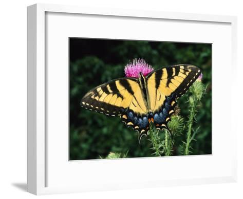 A Tiger Swallowtail Butterfly Feeds on a Thistle Flower-George Grall-Framed Art Print