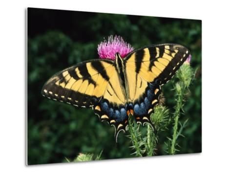 A Tiger Swallowtail Butterfly Feeds on a Thistle Flower-George Grall-Metal Print