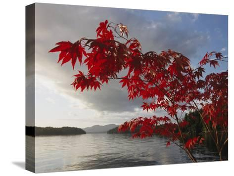 A Maple Tree in Fall Foliage Frames a View of Barnard Harbour-Richard Nowitz-Stretched Canvas Print