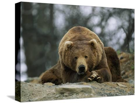 A Grizzly Bear at Rest on the Edge of the Larson Bay Dump-Joel Sartore-Stretched Canvas Print
