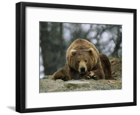 A Grizzly Bear at Rest on the Edge of the Larson Bay Dump-Joel Sartore-Framed Art Print