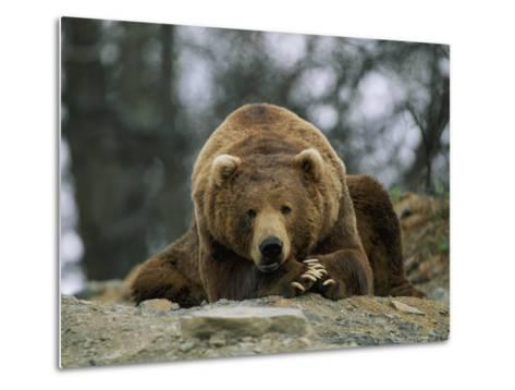 A Grizzly Bear at Rest on the Edge of the Larson Bay Dump-Joel Sartore-Metal Print