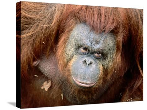 Orang-Utan in Zoo, Taman Safari Indonesia, Surabaya, Indonesia-Jane Sweeney-Stretched Canvas Print