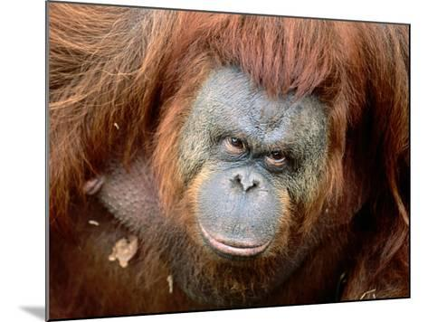 Orang-Utan in Zoo, Taman Safari Indonesia, Surabaya, Indonesia-Jane Sweeney-Mounted Photographic Print
