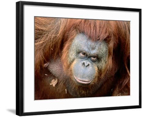 Orang-Utan in Zoo, Taman Safari Indonesia, Surabaya, Indonesia-Jane Sweeney-Framed Art Print