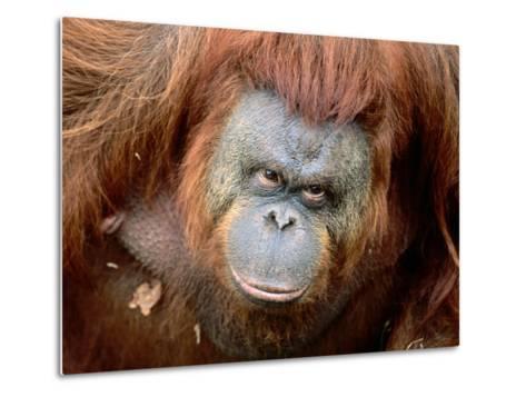 Orang-Utan in Zoo, Taman Safari Indonesia, Surabaya, Indonesia-Jane Sweeney-Metal Print