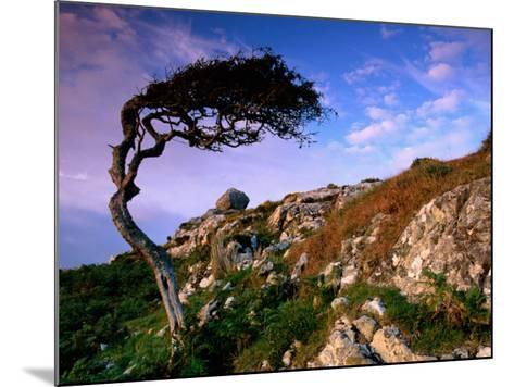 Wind-Sculpted Tree on Rocky Hillside, Connemara, Ireland-Richard Cummins-Mounted Photographic Print