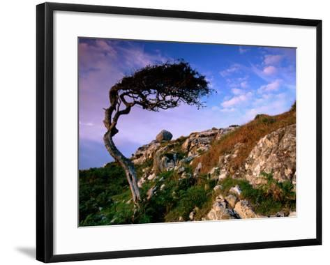 Wind-Sculpted Tree on Rocky Hillside, Connemara, Ireland-Richard Cummins-Framed Art Print