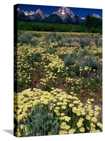 Wildflowers in Summer with Mountains in Distance, Grand Teton National Park, USA-Carol Polich-Stretched Canvas Print