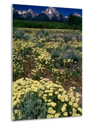 Wildflowers in Summer with Mountains in Distance, Grand Teton National Park, USA-Carol Polich-Metal Print