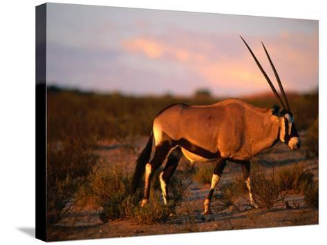Gembsbok, or Oryx (Oryx Beisa), Kgalagadi Transfrontier Park, Northern Cape, South Africa-Ariadne Van Zandbergen-Stretched Canvas Print