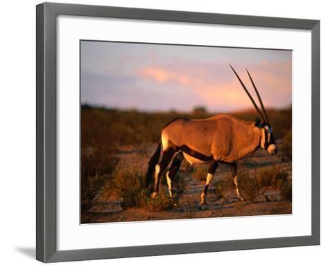 Gembsbok, or Oryx (Oryx Beisa), Kgalagadi Transfrontier Park, Northern Cape, South Africa-Ariadne Van Zandbergen-Framed Art Print