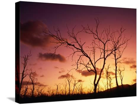 Dead Trees Silhouetted at Sunset, Airlie Beach, Queensland, Australia-John Banagan-Stretched Canvas Print
