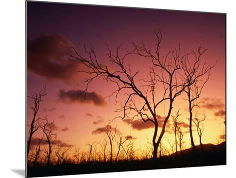 Dead Trees Silhouetted at Sunset, Airlie Beach, Queensland, Australia-John Banagan-Mounted Photographic Print
