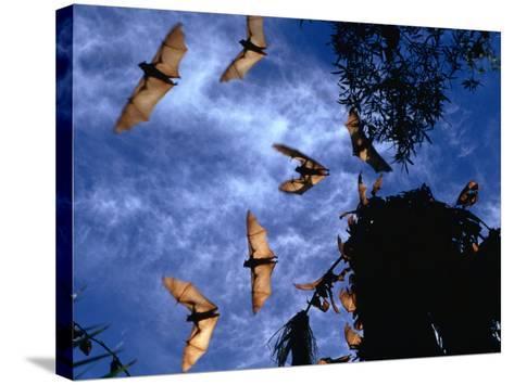 Flying Foxes (Bats) at Dusk, Mataranka, Australia-Regis Martin-Stretched Canvas Print